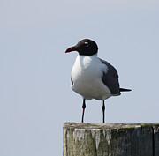 Boat Slip Posters - Laughing Gull Profile Shot Poster by John Telfer