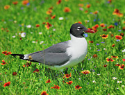 Laughing Photo Framed Prints - Laughing Gull Framed Print by Tony Beck