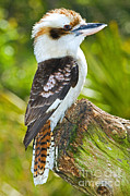 Most Photo Posters - Laughing Kookaburra Poster by Millard H. Sharp