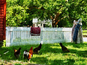 Chickens Framed Prints - Laundry Hanging on Fence Framed Print by Susan Savad