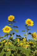 Laval Prints - Laval, Quebec, Canada Sunflowers Print by Perry Mastrovito