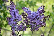 And Posters Prints - Lavendar Lilacs Print by Sonali Gangane