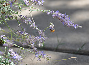 John Moody - Lavender and Bee