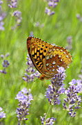 Spangled Posters - Lavender And Butterfly 2 Poster by Lara Ellis