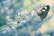 Pollen Metal Prints - Lavender and the Butterfly Metal Print by Juli Scalzi
