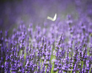 North Fork Prints - Lavender and White Print by Vicki Jauron