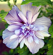 Florida Flowers Prints - Lavender Blue Rose of Sharon Print by Barbara Chichester