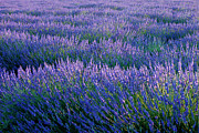 Provence Photos - Lavender by Brian Jannsen