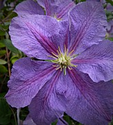 Lavender Clematis 2 Print by Chalet Roome-Rigdon