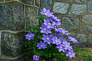 Byron Varvarigos Metal Prints - Lavender Clematis at St. Martins Church Metal Print by Byron Varvarigos