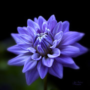 Spa Wall Decor Prints - Lavender Dahlia Print by Julie Palencia