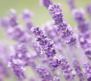 Kim Photo Prints - Lavender Dreams Print by Kim Hojnacki