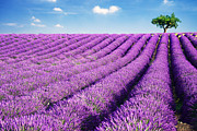 Azur Posters - Lavender field and tree in summer Provence France. Poster by Matteo Colombo