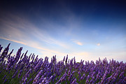 Provence Photos - Lavender field at sunrise by Matteo Colombo