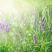 Lavender Field Background Print by Mythja  Photography