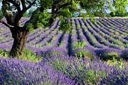 Crop Lines Art - Lavender Field by Brian Jannsen