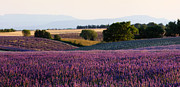 Alex Sukonkin Framed Prints - Lavender field in Provence Framed Print by Alex Sukonkin