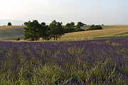 Abundance Posters - Lavender fields at sunset Poster by Sami Sarkis
