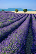 Crop Lines Art - Lavender Fields by Brian Jannsen