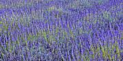 Jane McIlroy - Lavender Fields