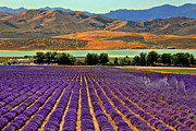Leslie Kirk Framed Prints - Lavender Fields Framed Print by Leslie Kirk
