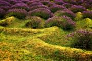 Michelle Calkins - Lavender Fields