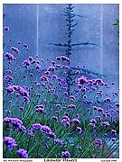 Power Plants Posters - Lavender Flowers Poster by Eric  Schiabor
