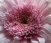 Botanicals Prints - Lavender Gerbera Up Close Print by Cathy Lindsey