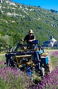 Dany  Lison - Lavender Harvest