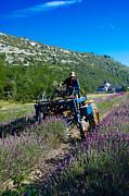 Dany  Lison - Lavender Harvest in...