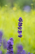 Dof Framed Prints - Lavender Hidcote Framed Print by Tim Gainey