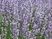 Lavender Hues Print by Pema Hou