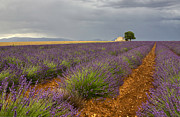 Provence Photos - Lavender in Provence 1 by Sophie De Roumanie