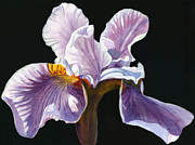Watercolor Photos - Lavender iris on Black by Sharon Freeman