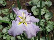 Lavender Iris Print by Sarah Uman