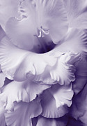 Purple Gladiolas Posters - Lavender Lace Gladiola Flower Poster by Jennie Marie Schell