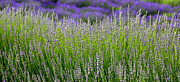 Lavender Flowers Photos - Lavender Layers by Carol Groenen
