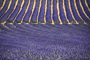 South France Framed Prints - Lavender Lines Framed Print by Joachim G Pinkawa