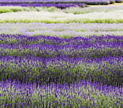 Lavender Lines  Print by Tim Gainey
