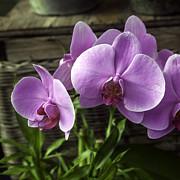 Lynn Palmer - Lavender Orchid Bloom