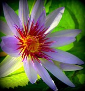 Water Lilly Photos - Lavender Passion by Karen Wiles