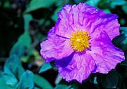 Cheryl Young - Lavender Poppy