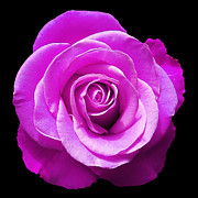 Lavender Rose Print by Aimee L Maher