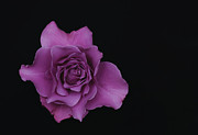 Lavender Rose Print by Dennis Reagan