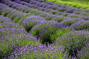 Flowers In Field Framed Prints - Lavender Rows Framed Print by Carol Groenen