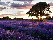 Cheerful Drawings Prints - Lavender Sunset Print by Cole Black