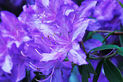 Lovely Petals Acrylic Prints - Lavender Touch Acrylic Print by Cheryl Young