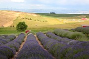Lavender Valley Print by Carol Groenen