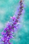 Lavender Print by Viaina