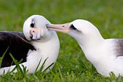 Craig K Lorenz - Laysan Albatrosses Pair